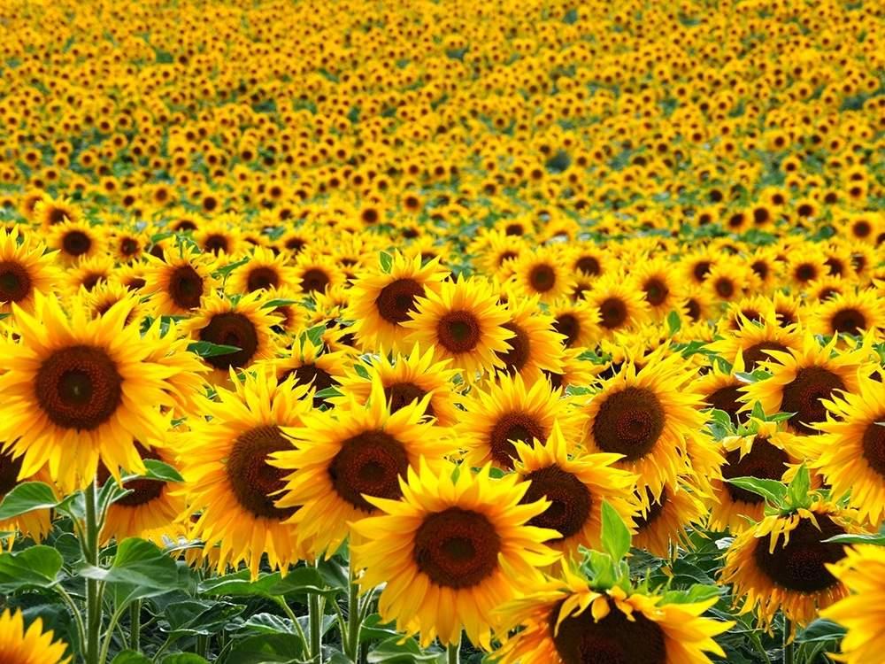Arti Mimpi Melihat Kebun Bunga Matahari