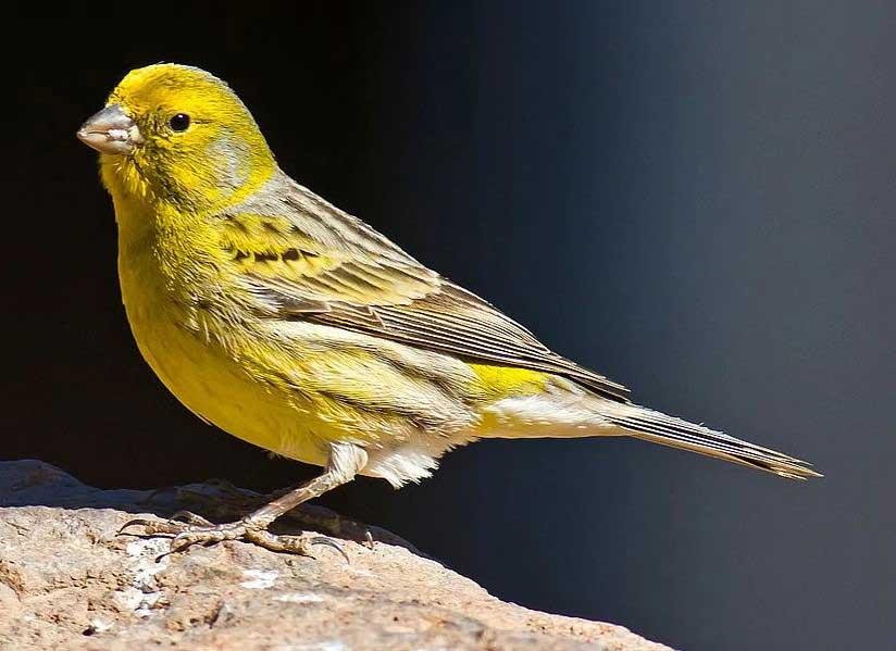 Mengenal Jenis Jenis Burung Kenari Dan Harga Terbaru Lengkap Gaya Hidup Www Indonesiana Id